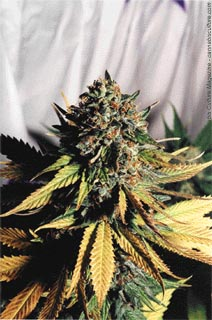 Soma Skunk from Seeds of Courage.