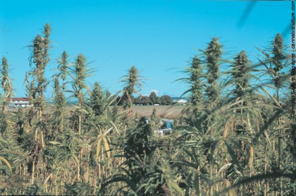 Healthy hemp growing in Delta, BC. Mount Baker in the hemp-free US can be seen in the background.