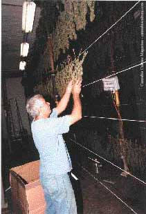Buds are hung to dry for 10 days in a curing barn.
