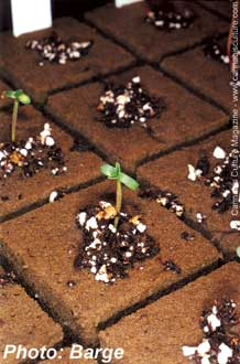 This seedling was sprouted in soil placed within a rockwool cube.