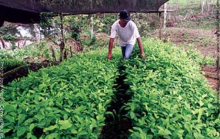 Local grower checking his small coca plants in Putumayo province.