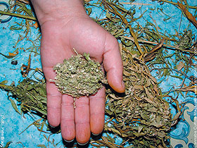 If carefully manicured, you can get some good nugs out of the leafy Moroccan bud