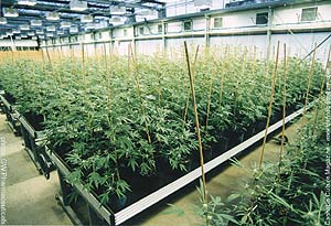 Growing medicine in clean and organic environment.