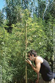 Elliot, the Spanish growmaster enjoys the scent of his towering canna-tree