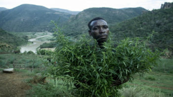 Cannabis farmer 2 350x197 - Growing Hope Despite Colonial Residue in Zimbabwe
