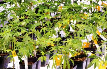 aurora cannabis 350x227 - Canada's Marijuana Industry Looks Abroad for Growth
