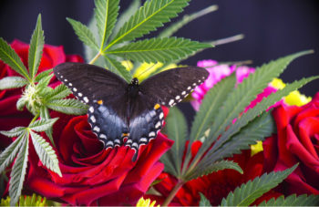 marijuana flower butterfly istock 350x227 - Seven Ganja Gifts for Mom on Mother's Day