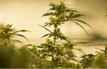 Washington State Cannabis Company Starts Pot Waste Program 2