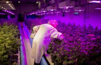 Canadian Cannabis Producers Quadruple Hiring in a Year 2