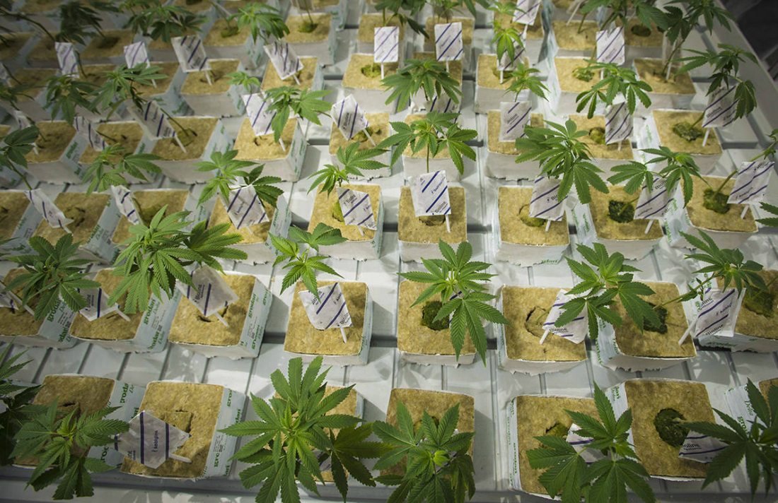 Canadian Company to Destroy $77 Million Worth of Weed