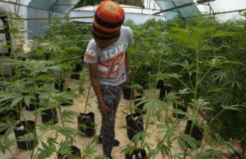 Malawi Legalises Cannabis Amid Hopes of Fresh Economic Growth 2
