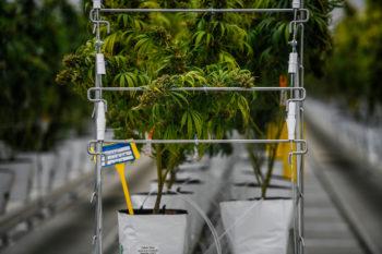 photo of Cannabis Stocks Soar on Hopes Pot Wards Off Coronavirus image