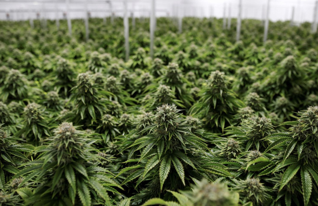 planta34939795729578934sdfsdfdd334rwed - Cannabis Industry Gearing Up for Wave of Mergers and Acquisitions Amid Prospect of U.S. Legalization