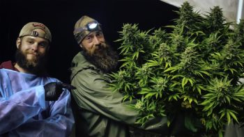 photo of Corporate Cannabis Struggles While Craft Producers Thrive image