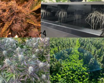 0 2 350x280 - Corporate Cannabis Struggles While Craft Producers Thrive