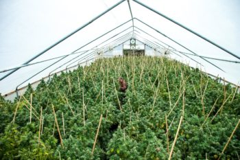 , Humboldt County Grows On